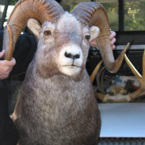 Full curl sheep from taxidermist.